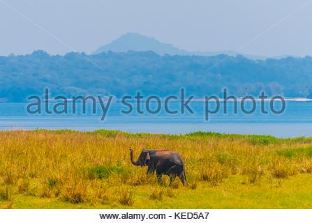 Elephant, North Central Province, Sri Lanka. - Stock Photo