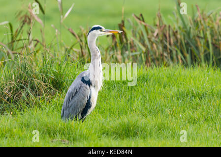 Grey Heron (Ardea cinerea), adult, a predatory wading bird in a field in Autumn in West Sussex, England, UK. - Stock Photo