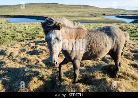 Icelandic wild horse portrait - Stock Photo