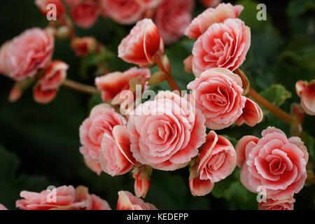 Numerous bright flowers of tuberous begonias (Begonia tuberhybrida) in garden. - Stock Photo