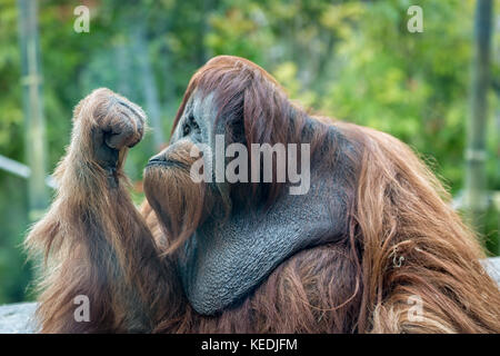 orangutan (ape) portrait with his eyes looking into his closed hand with blurred background - Stock Photo
