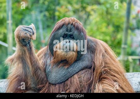 Orangutan (ape) eating fruits - Stock Photo