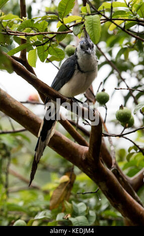 Blue magpie-jay in an apple tree in Costa Rica - Stock Photo