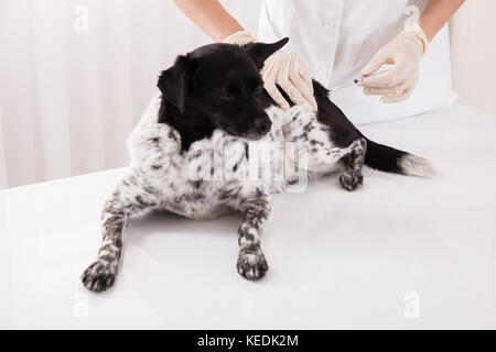 Vet Giving An Injection To Dog Lying On Desk In Hospital - Stock Photo