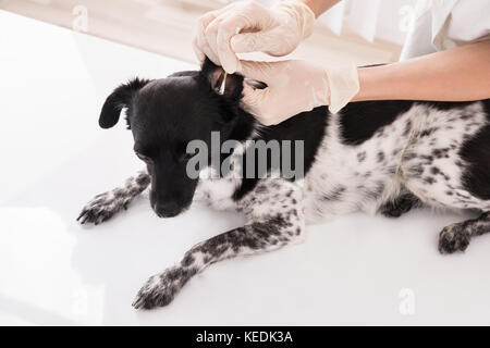 Close-up Of A Vet Cleaning Dog's Ear With Cotton Bud - Stock Photo