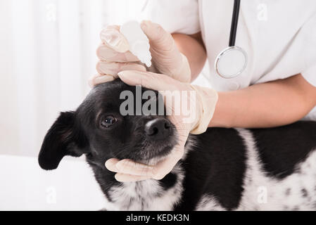 Close-up Of A Vet Applying Eye Drop In Dog's Eye - Stock Photo