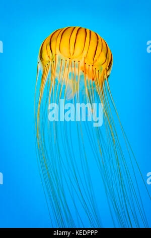 Chrysaora melanaster aka northern sea nettle. The species derives its name from the Greek words melas and aster,meaning 'black star' in reference to t
