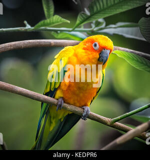 Sun Conure parrot (Aratinga solstitialis) perched on a branch in a tropical forest - Stock Photo