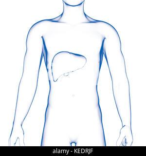 Human Liver, Medical Illustration - Stock Photo