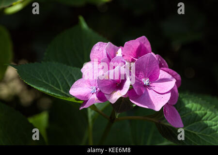Closeup of blooming purple hortensia flower hydrangea serrata flower with natural green background. Selective focus. - Stock Photo