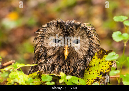 Potrait of a sleepy owl. The tawny owl or brown owl (Strix aluco) is a stocky, medium-sized owl commonly found in - Stock Photo