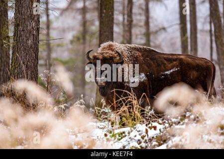 Wisent, European bison (bison bonasus) in winter forest - Stock Photo