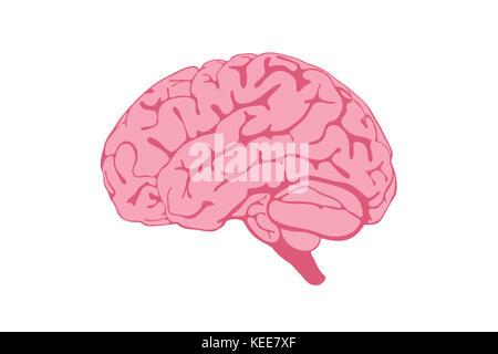 Human Brain illustration isolated on white background. - Stock Photo