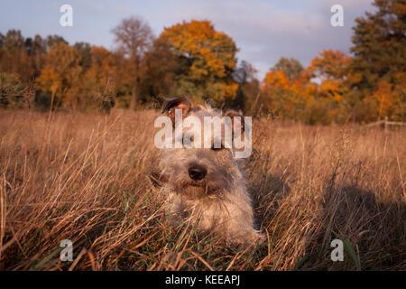 A cute mongrel in autumn portrait /  A cute little dog on an autumn background - Stock Photo