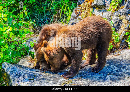 Two Brown Bear cubs playing on the rocks near Redoubt Bay Lodge in Alaska - Stock Photo