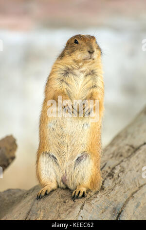 Marmot on two legs in the Chiang Mai Zoo - Stock Photo