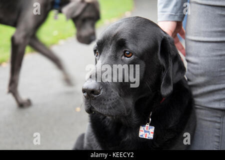 Grey Great Dane, Black lab, bull terrier in the park - Stock Photo