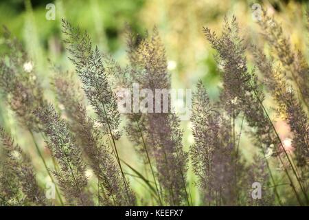 Calamagrostis brachytricha in flower, late summer / autumn - Stock Photo