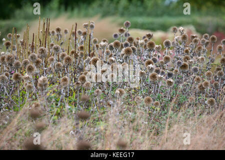 Echinops ritro seed heads in grasses, autumn interest in the garden - Stock Photo