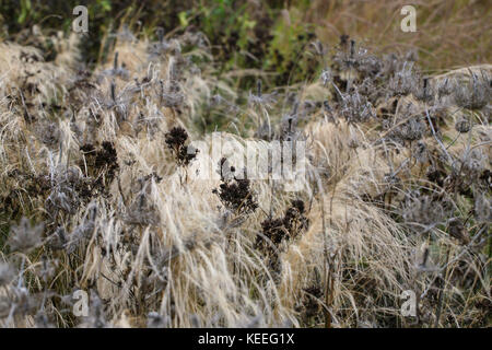 Eryngium seed head structures amongst grasses, holding form through autumn and winter - Stock Photo