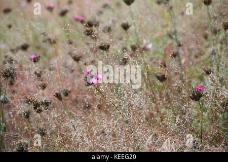 Dianthus carthusianorum flowering in amongst grasses, late summer / autumn - Stock Photo