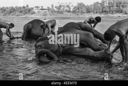 Trainers bathe young elephants at dawn in the river Periyar on January 11, 2012 near Ernakulam, Kerala, India. - Stock Photo