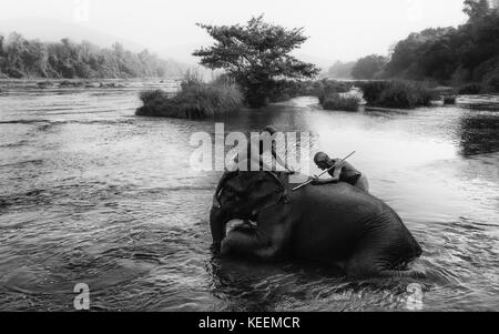 Trainers bathe young elephants at dawn in the river Periyar on January 11, 2012 near Ernakulam, Kerala, India. - Stock Photo