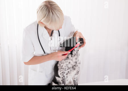 Young Female Vet Cleaning Dog's Teeth With Toothbrush In Clinic - Stock Photo