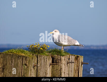 Adult herring gull sitting on old wooden mooring post overgrown with grass and yellow flowers with the blue sea - Stock Photo