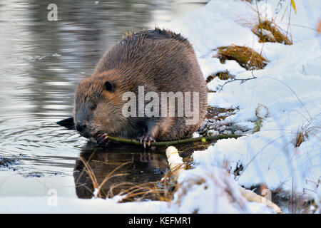 An adult beaver 'Castor canadensis'; feeding on an aspen tree branch on the snow covered shore of his beaver pond - Stock Photo