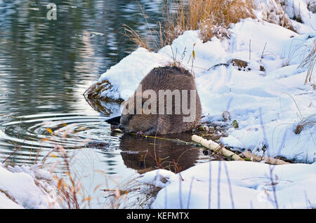 An adult beaver 'Castor canadensis'; on the shore that is covered with snow feeding on an aspen tree branch at Maxwell - Stock Photo