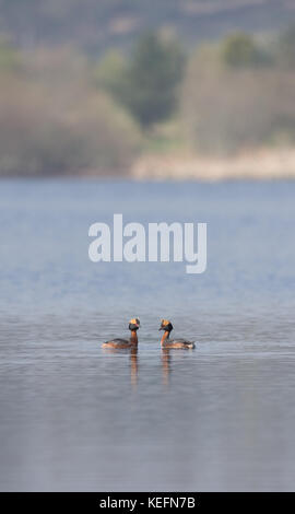 Slavonian grebe (Podiceps auritus) performing the courtship dance on a loch in Scotland, UK. - Stock Photo