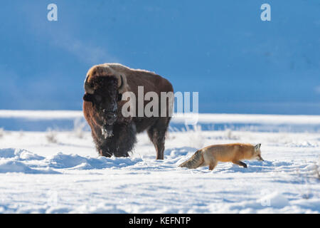 Red fox near bison during winter in Yellowstone National Park - Stock Photo