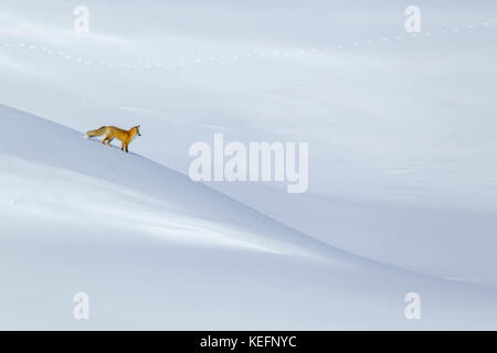 Red Fox (Vulpes fulva) hunting in the Hayden Valley during winter in Wyomings Yellowstone National Park - Stock Photo