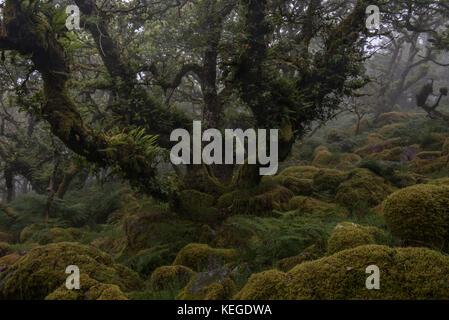 Fern covered old oak tree in wistmans wood, dartmoor - Stock Photo