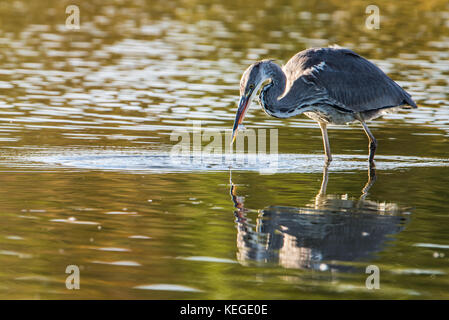 The Grey Heron (Ardea cinerea) waits patiently, stock-still, and suddenly full action for prey and catch a fish - Stock Photo