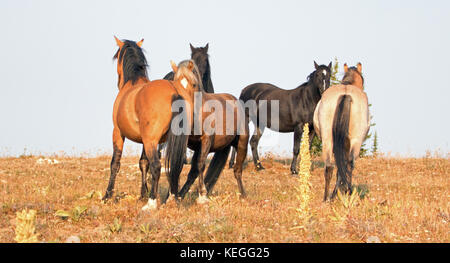 Wild Horses - Band and Bachelor stallions fighting in the morning in the Pryor Mountains Wild Horse Range in Montana - Stock Photo