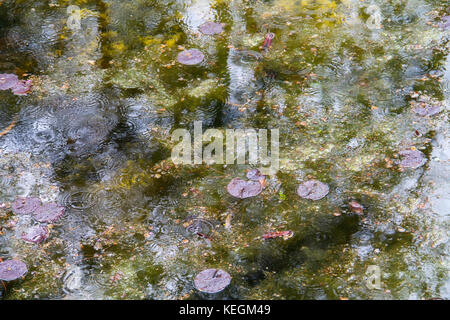 background leaves floating on the lake in the rain - Stock Photo