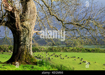 A tree standing on a hillside near the village of Corton in the Wylye Valley. - Stock Photo