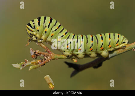 Swallowtail caterpillar or swallowtail butterfly larva Latin name papilio machaon green with black stripes and red - Stock Photo