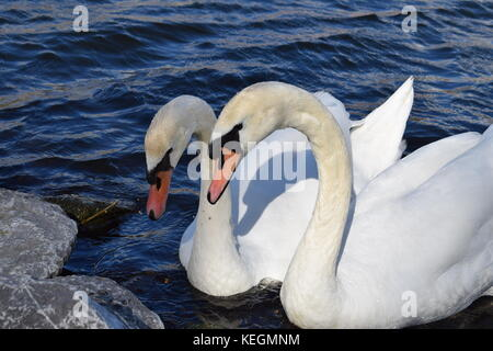 Two white swans in the Rotterdam canal in the Netherlands - Stock Photo