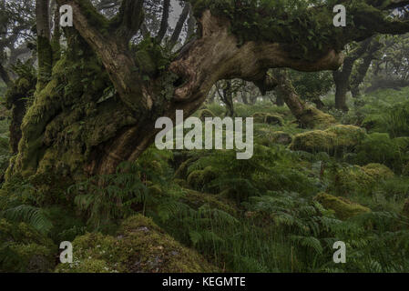 Fern covered old oak tree in wistmans wood, dartmoor - Stock Photo