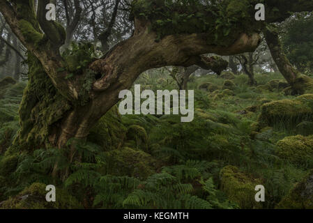 Fern covered Dead tree in Wistmans wood - Stock Photo