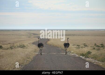 wildlife Strauss - Common ostrich im Etosha Natinal Park Namibia - Stock Photo