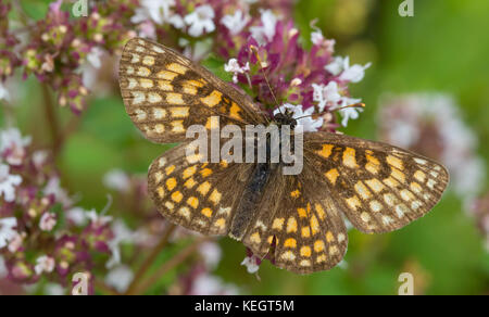 Heath fritillary (Melitaea athalia) butterfly male closeup in summer, Podlasie Region, Poland, Europe - Stock Photo