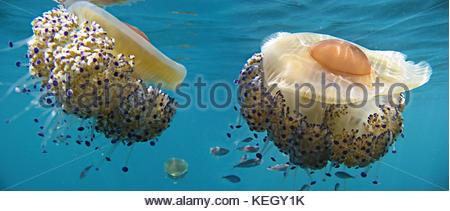 Young Mediterranean horse mackerel, Trachurus mediterraneus, around  Mediterranean fried egg jellyfish, Cotylorhiza - Stock Photo