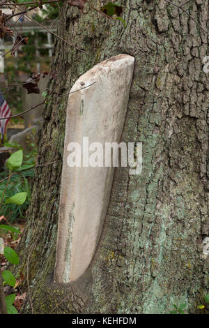 METUCHEN, NEW JERSEY - October 16, 2017: A tree literally grows over and around tombstones in the Metuchen Colonial - Stock Photo