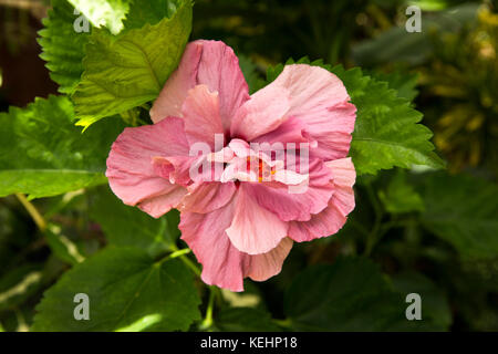 The Seychelles, Mahe, flowers, dusky rose pink hibiscus growing in garden - Stock Photo