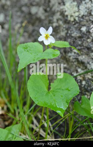 Canadian violet (Viola canadensis var. scopulorum) - Stock Photo
