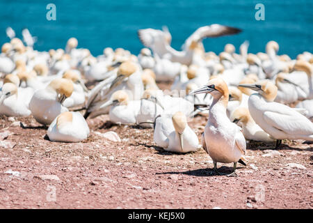 Closeup of white Gannet bird colony nesting on cliff on Bonaventure Island in Perce, Quebec, Canada by Gaspesie, - Stock Photo